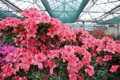 Red Rhododendron. (Azalea) in the winter botanic garden Royalty Free Stock Photography