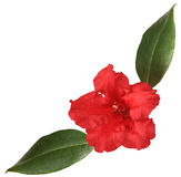 Red rhododendron Stock Photography