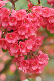 Red rhododendron Royalty Free Stock Photos