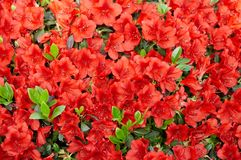 Red rhododendron Stock Photo