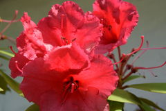 Red Rhododendron. The rhododendron is blooming with startling red colors in my summer garden Royalty Free Stock Photo