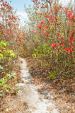 Red rhododendron blossom forest Stock Images