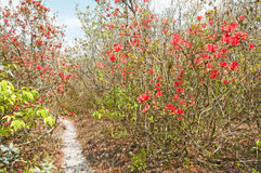 Red rhododendron blossom forest Stock Image