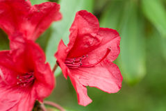 red rhododendron campanulate flowers Royalty Free Stock Images