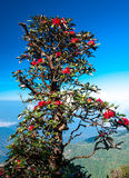 Red Rhododendron. Chiang Mai Thailand Stock Images