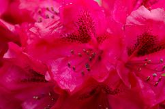 Red Rhododendron close-up royalty free stock images