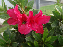 Red Rhododendron Royalty Free Stock Image