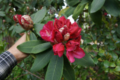 Red Rhododendron Royalty Free Stock Images