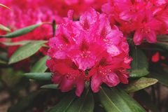 Red rhododendron flower. elegant rhododendron flower in the summer garden. Beautiful rhododendron flower in full bloom. Floral Blurred Background. bloom of red stock photo