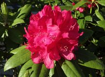 Red rhododendron flower. Bloom in the spring sunshine Stock Photo