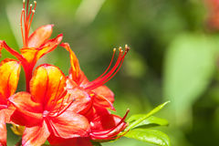 Red rhododendron flower blooming Royalty Free Stock Photography