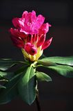 Red rhododendron Stock Images