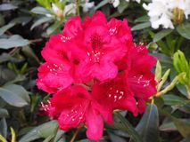 Red rhododendron flower in garden, Lithuania Stock Image
