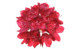 Red rhododendron flower Stock Images
