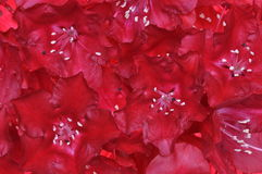 Red rhododendron flower petals Royalty Free Stock Photos