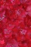 Red rhododendron flower petals Royalty Free Stock Images