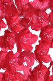 Red rhododendron flower petals Royalty Free Stock Photo