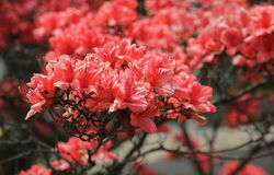 Red rhododendron flowers Royalty Free Stock Image