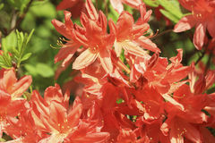 Red rhododendron flowers Royalty Free Stock Photos