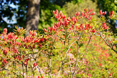Red rhododendron. Flowers by the one of the most beautiful woody plants of the heath family - rhododendrons Stock Images