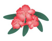 Red Rhododendron with Green Leaves on White Background Stock Photo