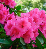 Red Rhododendron tree and flowers Royalty Free Stock Photos