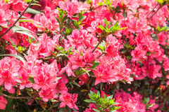 Red Rhododendrons flower Stock Photo