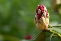 Red rhodondron bud opening soon. Bud of a red rhodondendron blossom which will open soon on a green blurry background royalty free stock photos