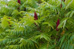 Red Rhus typhina. Blooming in summer Stock Photos