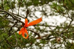 Red ribbon on pine branch royalty free stock image