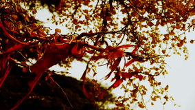 Red ribbon wrapped around branches,lush ginkgo tree in breeze,Trunk,forest,woods. Gh2_00198 stock video footage