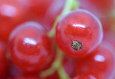 Red Ribes. Close and macro view on delicious fresh Ribes that are made in organic agriculture Stock Photo