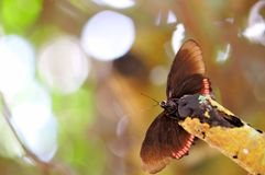 Red Rim butterfly (underside) Royalty Free Stock Photo
