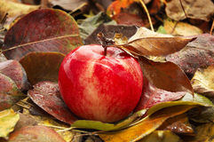 Red ripe apple Royalty Free Stock Image