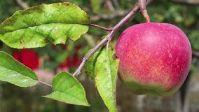 Red ripe apple on a branch with green leaves stock video footage