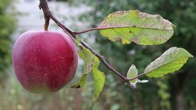Red ripe apple on a branch with green leaves stock footage