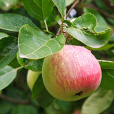 Red ripe apple on green sprig close up Stock Photo