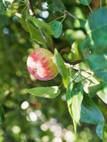 Red ripe apple on green twig Stock Photos