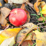 Red ripe apple on the ground Royalty Free Stock Image