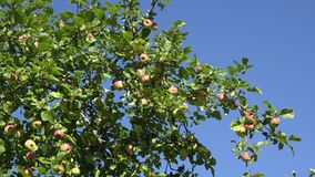 Red ripe apple and leaves on fruit tree twigs on blue sky background. 4K stock footage