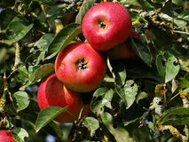Red ripe apple on tree. Kellerwald, Edersee Royalty Free Stock Image
