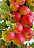 Red ripe apples Stock Image