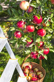 Red ripe apples Stock Images