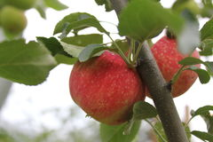 Red ripe apples on branch 20498 Royalty Free Stock Image