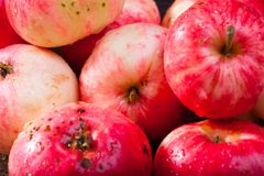 Red ripe apples. Bunch of red ripe apples on the vintage wooden table stock photography