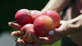 Red ripe apples in female hands. Vintage. Apple Spas stock footage