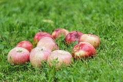 Red ripe apples on fresh green grass Royalty Free Stock Photo