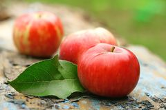 Red ripe apples in the garden. Close-up Stock Photography