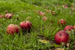 Red ripe apples on the grass. Red apples on the grass fallen down from apple tree, Somerset England stock images