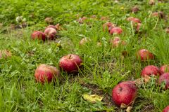 Red ripe apples on the grass. Red apples on the grass fallen down from apple tree, Somerset England royalty free stock images